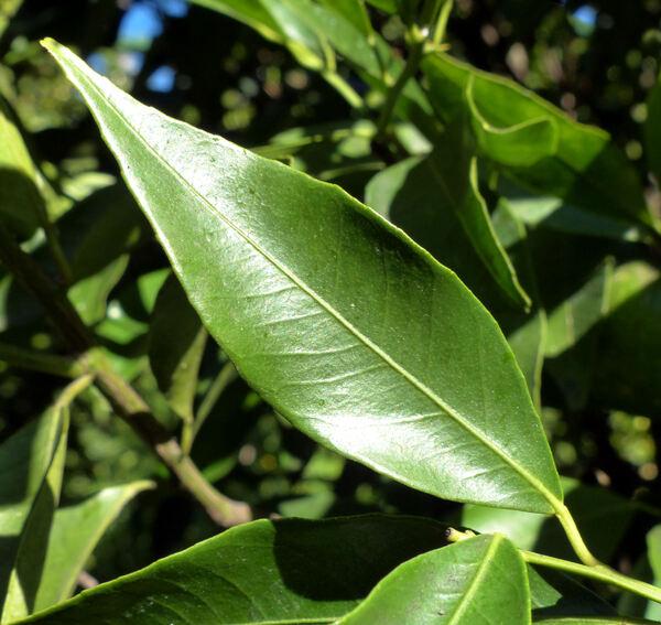 Citrus reticulata Blanco 'Tardivo di Ciaculli'