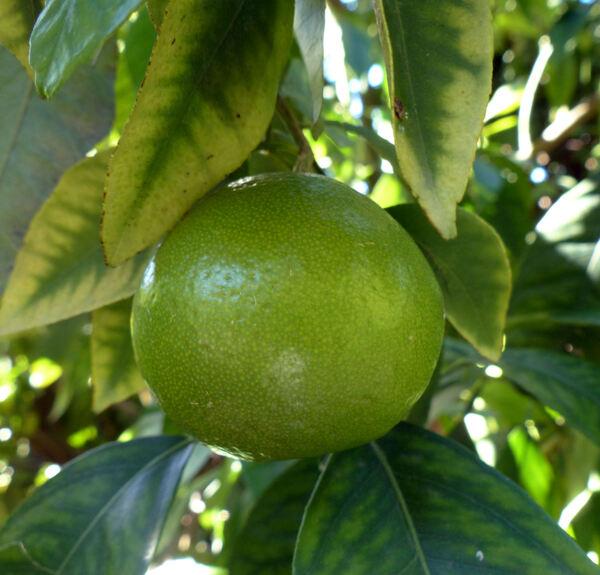 Citrus 'Tangelo Mapo'