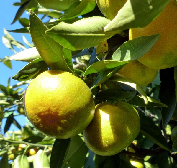 Citrus reticulata Blanco 'Satsuma'