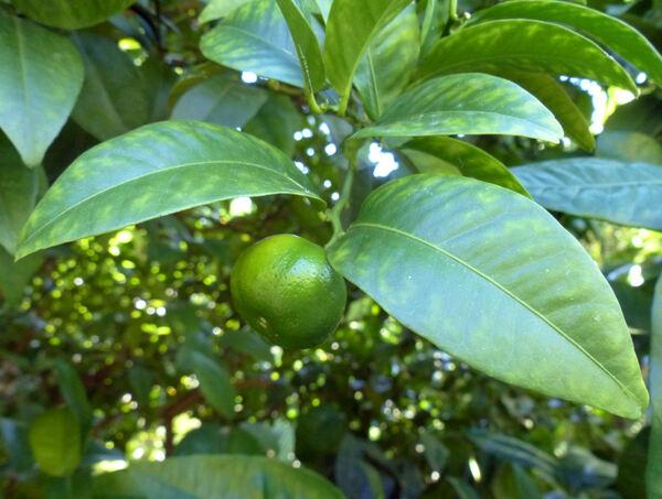 Citrus reticulata Blanco 'Pectinifera'