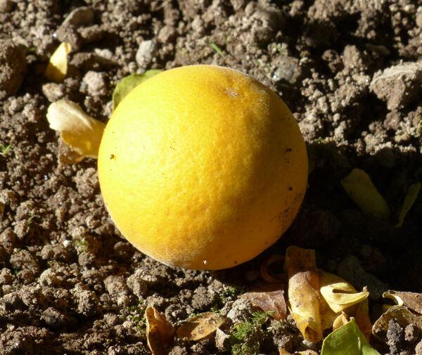 Citrus trifoliata L. 'Monstruosa'