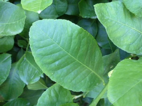 Citrus x limon (L.) Osbeck 'Spatafora'