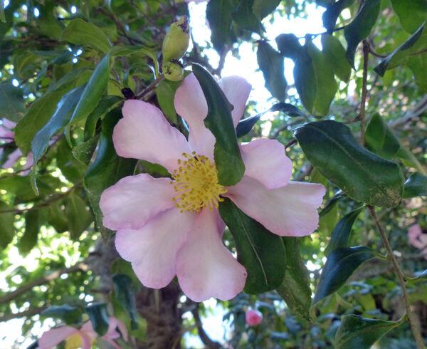 Camellia sasanqua Thunb. 'Cleopatra'