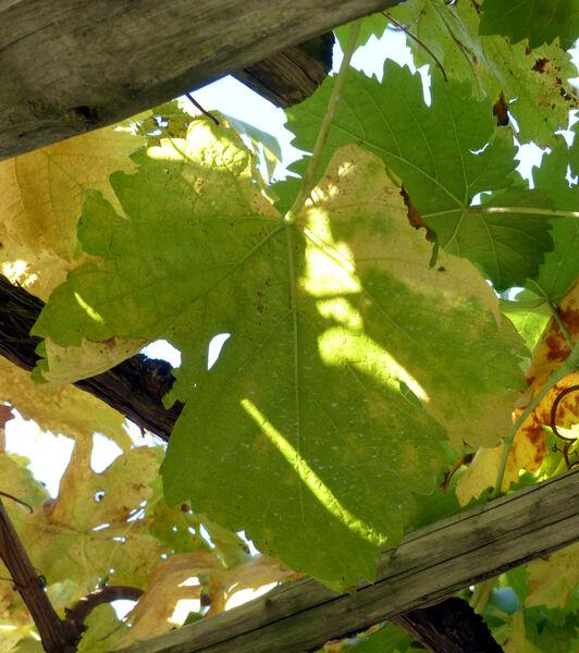 Vitis vinifera L. 'Weisser Hörtling'