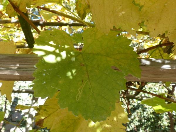 Vitis vinifera L. 'Muskatblatterle'