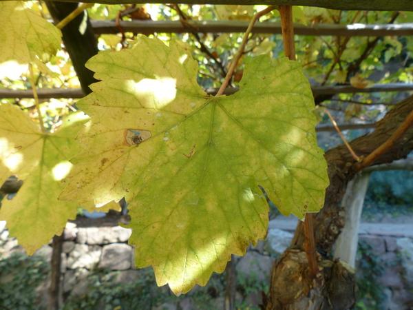 Vitis vinifera L. 'Heunisch'