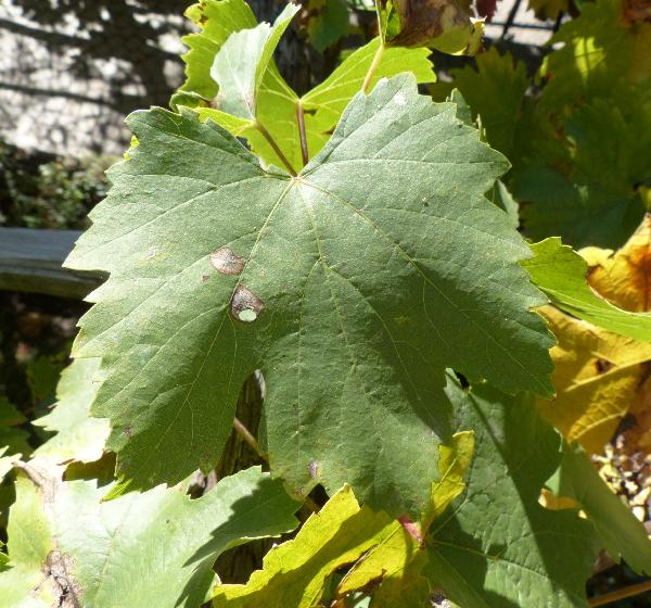 Vitis vinifera L. 'Hörtrote'