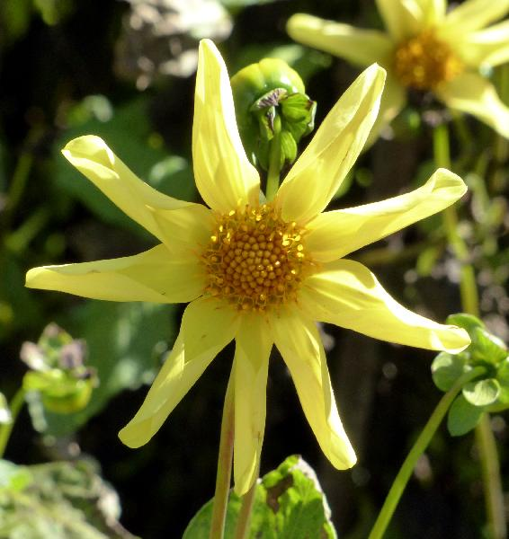 Dahlia 'Honka Yellow'