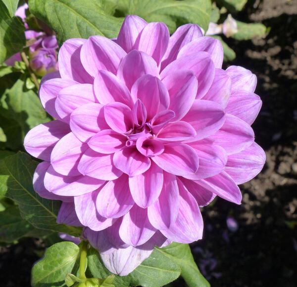 Dahlia 'Blume von Hawaii'