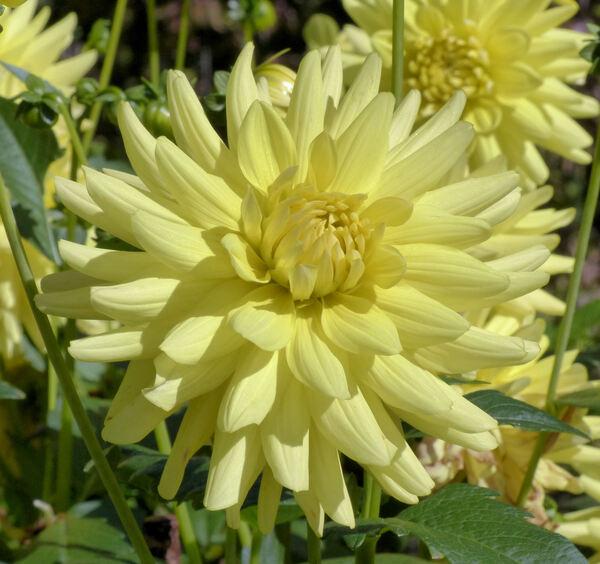 Dahlia 'Aggerperle'