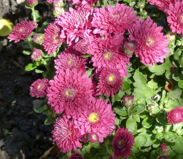 Chrysanthemum 'Dreamstar Pan'