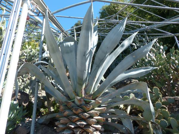 Agave beaulueriana Jacobi