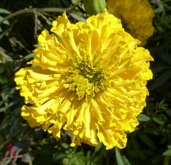 Tagetes erecta L. 'Gold Sovereign'