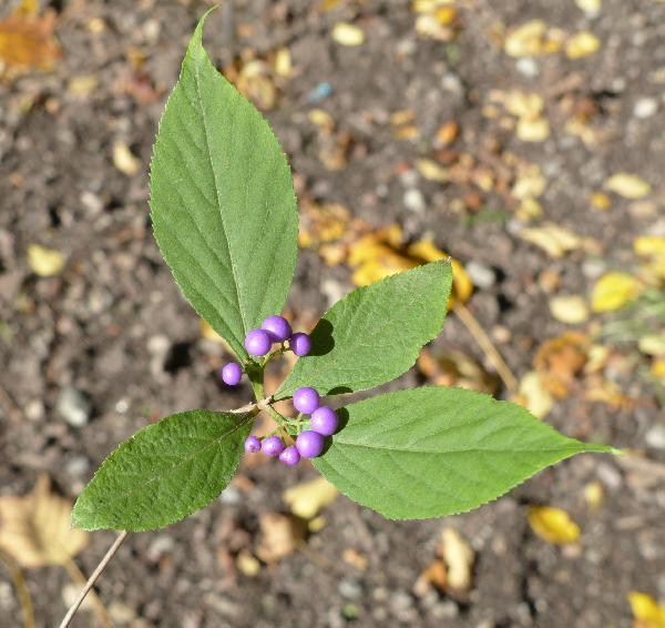 Callicarpa japonica Thunb.