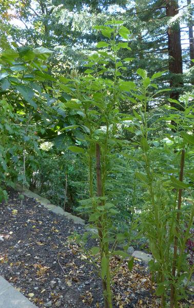 Amaranthus caudatus L. 'Albiflorus'