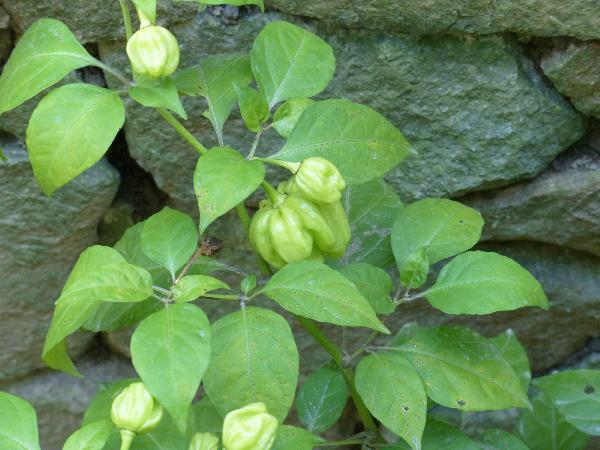 Capsicum chinense Jacq.