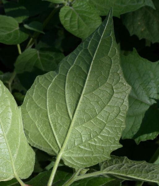 Physalis peruviana L. 'Chilto'