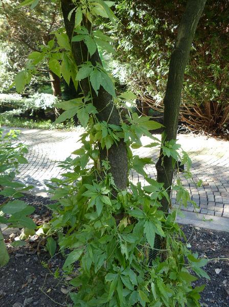 Cyclanthera pedata (L.) Schrad.