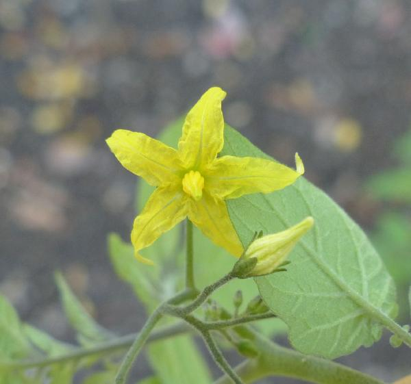Solanum pimpinellifolium L.