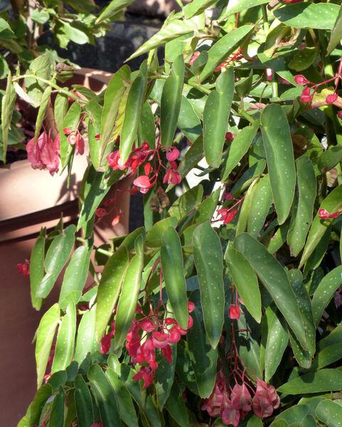 Begonia maculata Raddi var. albopicta (W. Bull) Fotsch