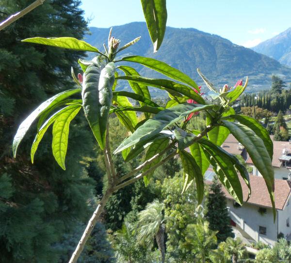 Pavonia multiflora A. St.-Hil.