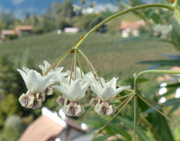 Asclepias physocarpa (E.Mey.) Schltr.