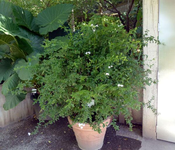 Plumbago auriculata Lam. 'Alba'