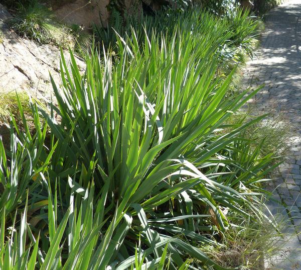 Yucca filamentosa L.