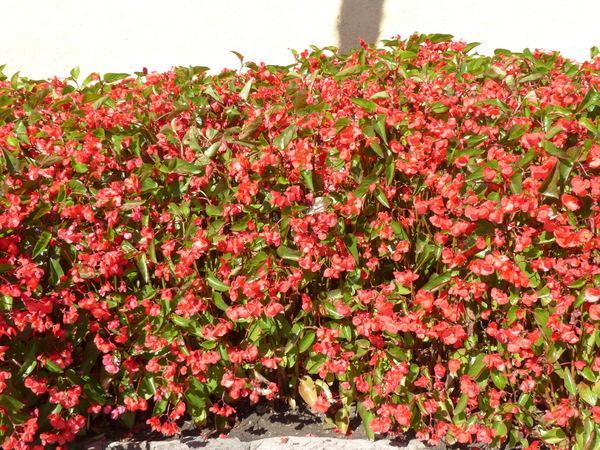 Begonia x tuberhybrida Voss 'Dragon Wing Red'