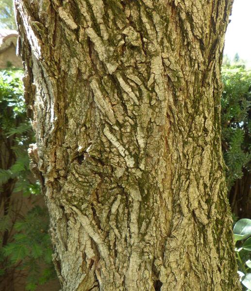 Robinia pseudoacacia L. 'Tortuosa'