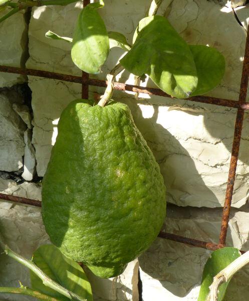 Citrus medica L.