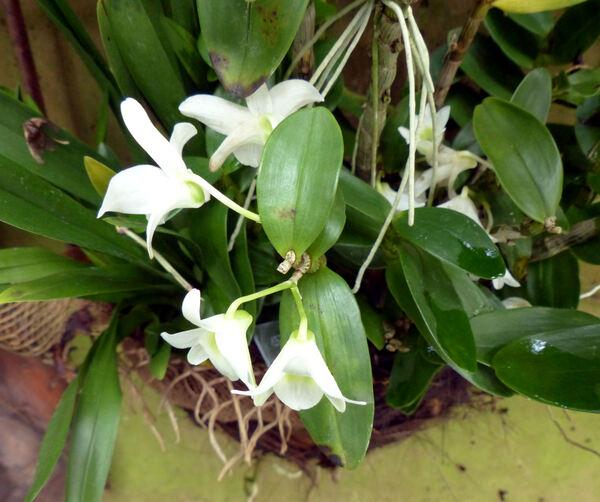 Dendrobium 'Baby Love Pocket'