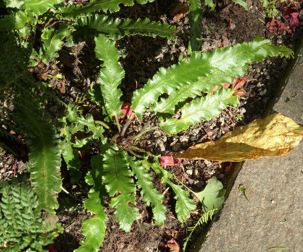 Asplenium scolopendrium L. 'Angustatum'