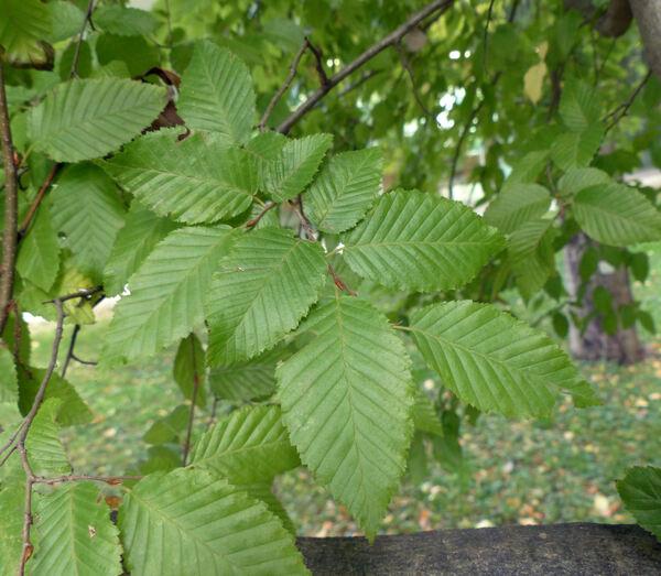 Carpinus orientalis Mill. subsp. orientalis