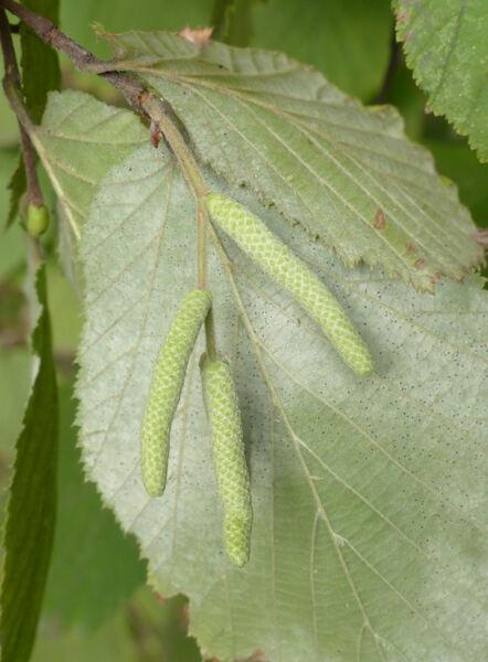 Corylus avellana L. 'Contorta'