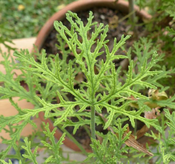 Pelargonium radula (Cav.) L'Hér.