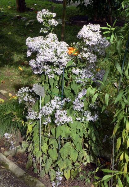 Symphyotrichum cordifolium (L.) G.L. Nesom