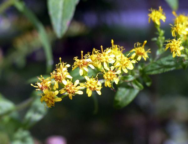 Solidago rugosa Mill.