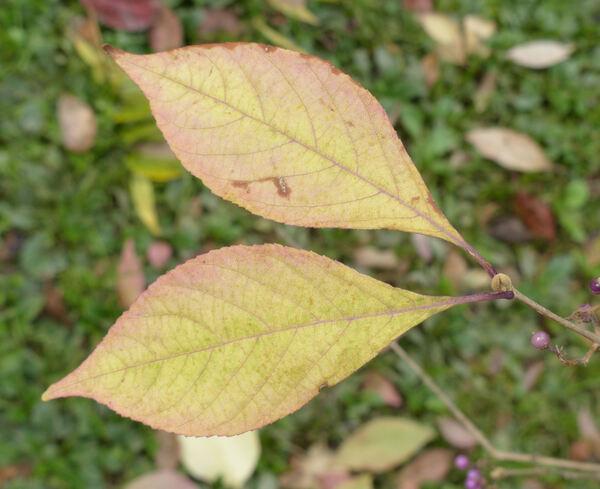Callicarpa americana L.