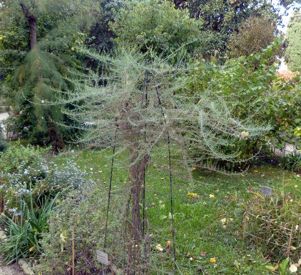 Symphyotrichum ×versicolor (Willd.) G.L.Nesom