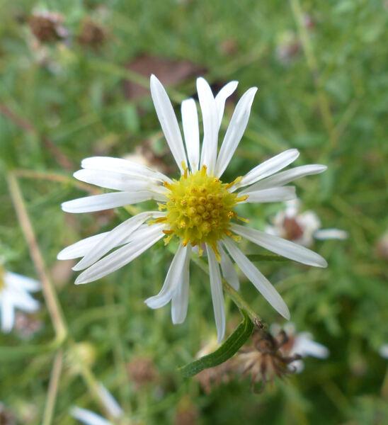 Aster tataricus L. f.