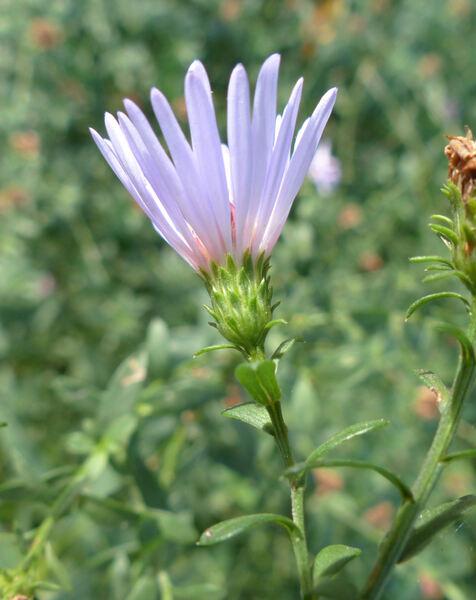 Symphyotrichum ×salignum (Willd.) G.L.Nesom