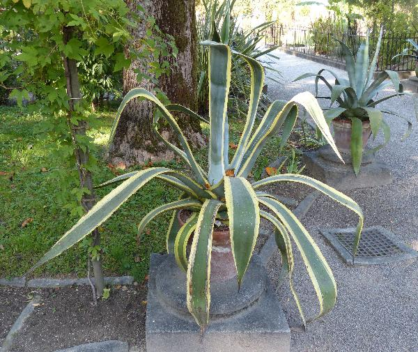 Agave ingens A.Berger