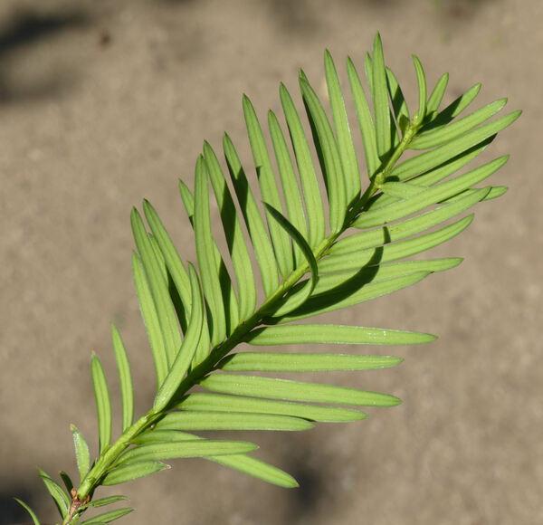 Taxus baccata L. 'Repandens'