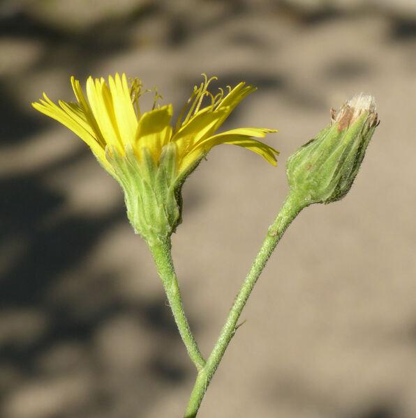 Hieracium sabaudum L.