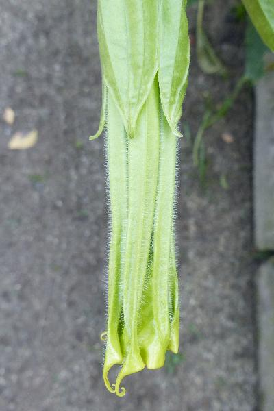 Brugmansia suaveolens (Humb. & Bonpl. ex Willd.) Bercht. & J.Presl
