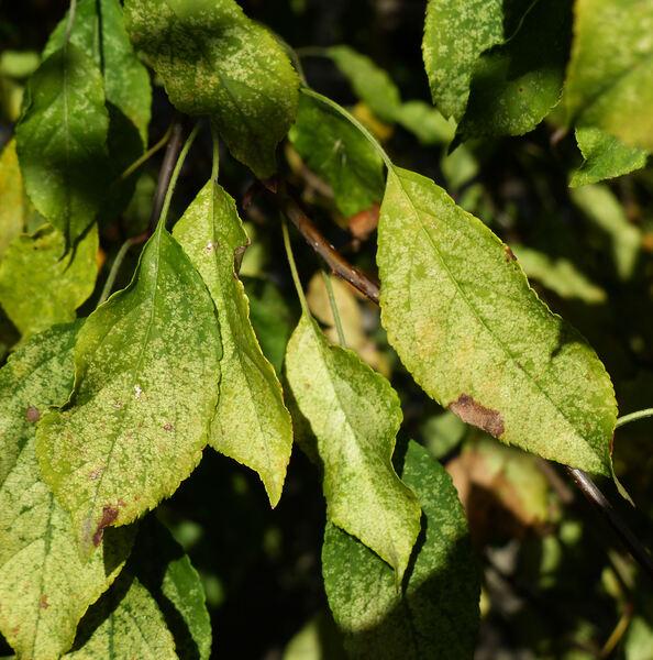 Malus spectabilis (Aiton) Borkh.