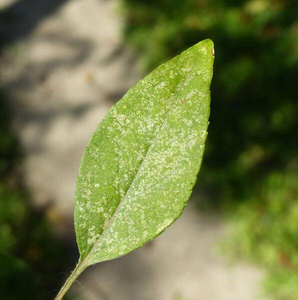 Malus floribunda Siebold ex Van Houtte 'Hilleri'