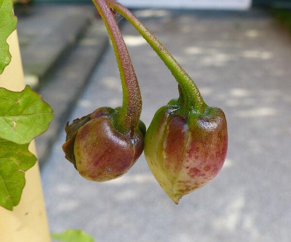 Merremia dissecta (Jacq.) Hallier f.