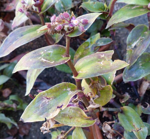 Tradescantia cerinthoides Kunth